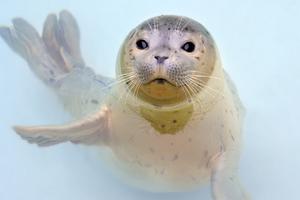 """Adopt a Seal Poster Seal """"Garnett"""""""