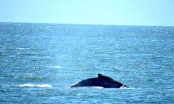 Whale Watching Cruises on San Francisco Bay are in California Living ® TV's spotlight.